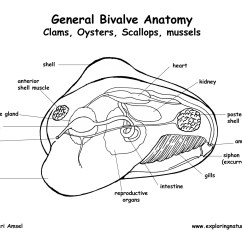 Mollusca Diagram Labeled Family Life Cycle The Gallery For Gt Clam External Anatomy