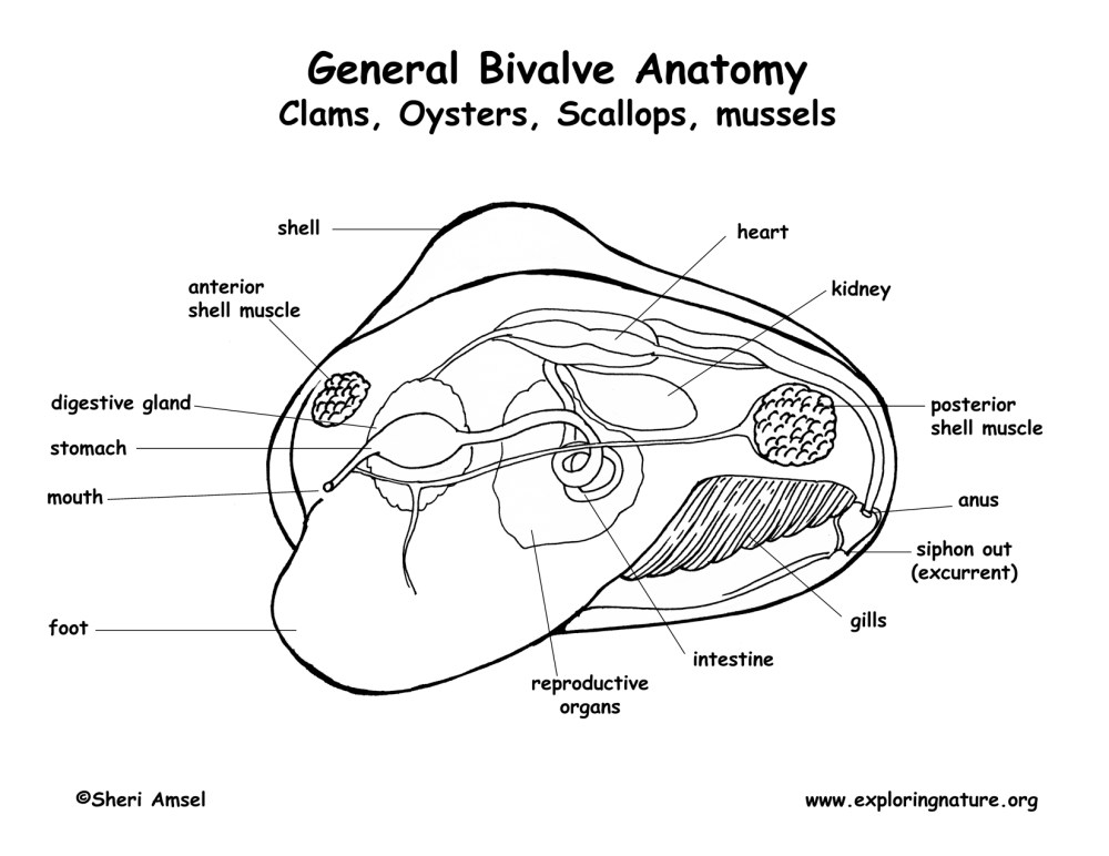 medium resolution of clam body diagram schematic wiring diagrams rh 26 koch foerderbandtrommeln de oyster diagram labeled 3d clam diagram