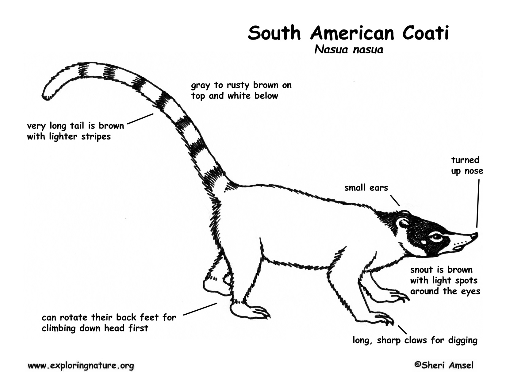 Coati (South American)
