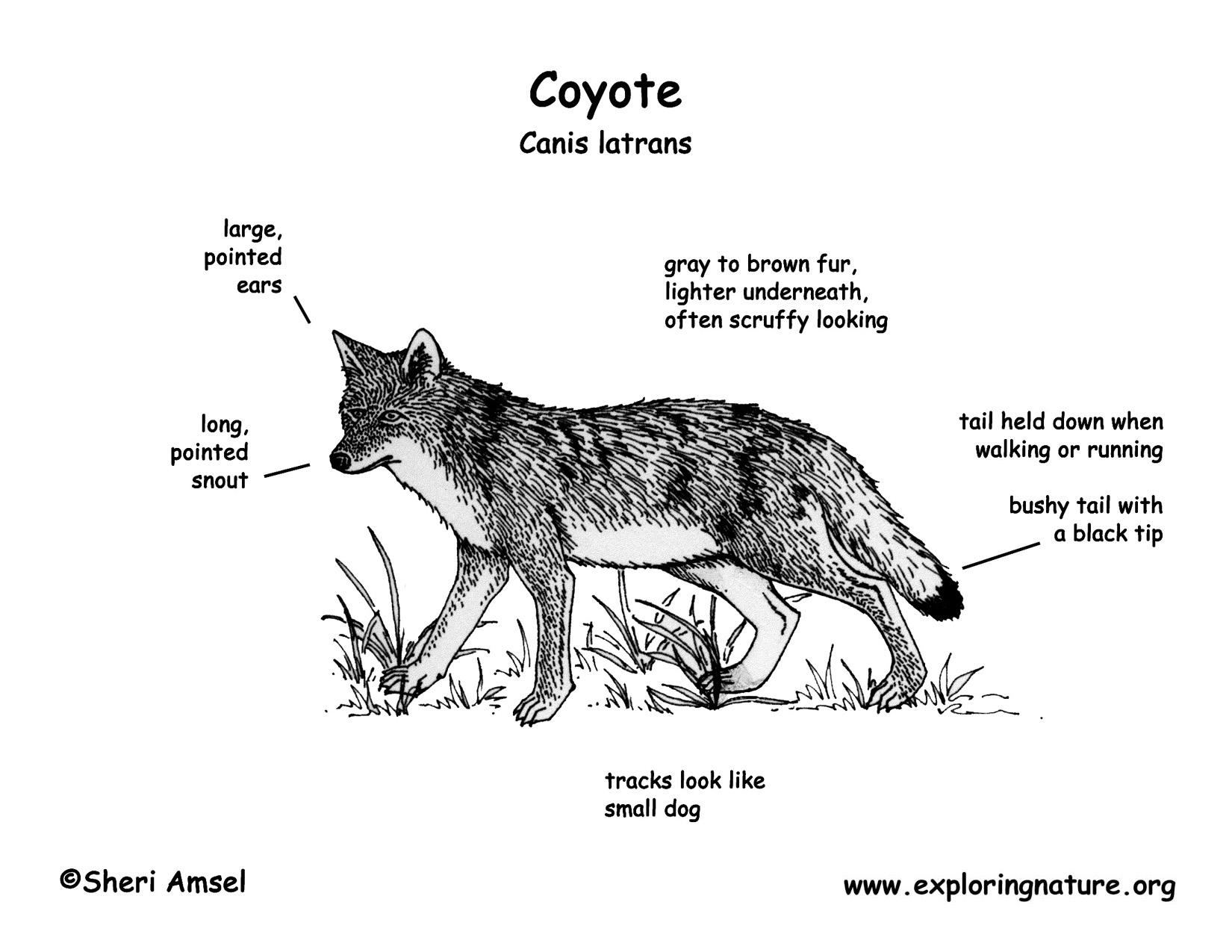 wolf skeleton diagram 1998 jeep cherokee xj stereo wiring coyote