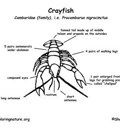 crayfish diagram labeled photo 16 [ 1650 x 1275 Pixel ]