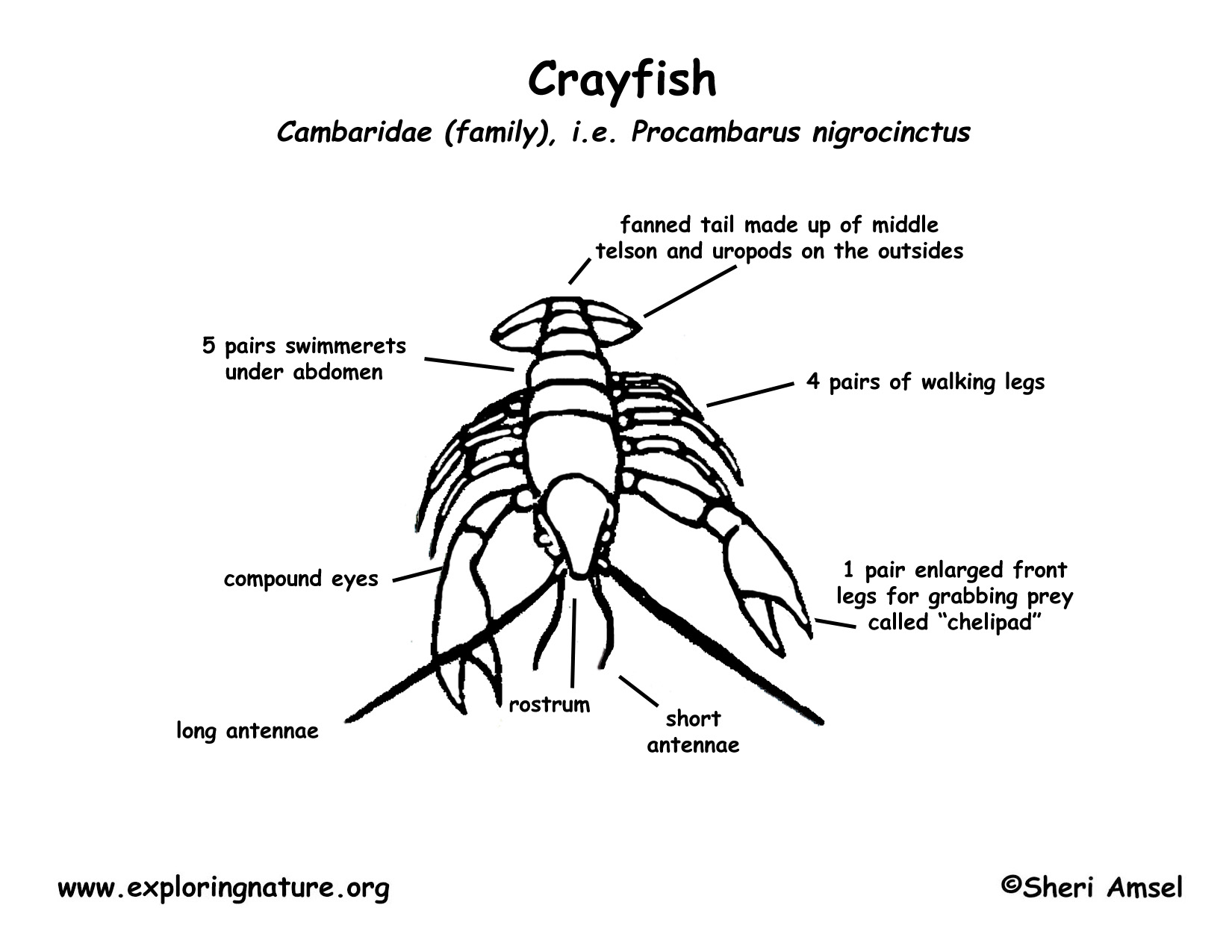 hight resolution of crayfish diagram labeled photo 16