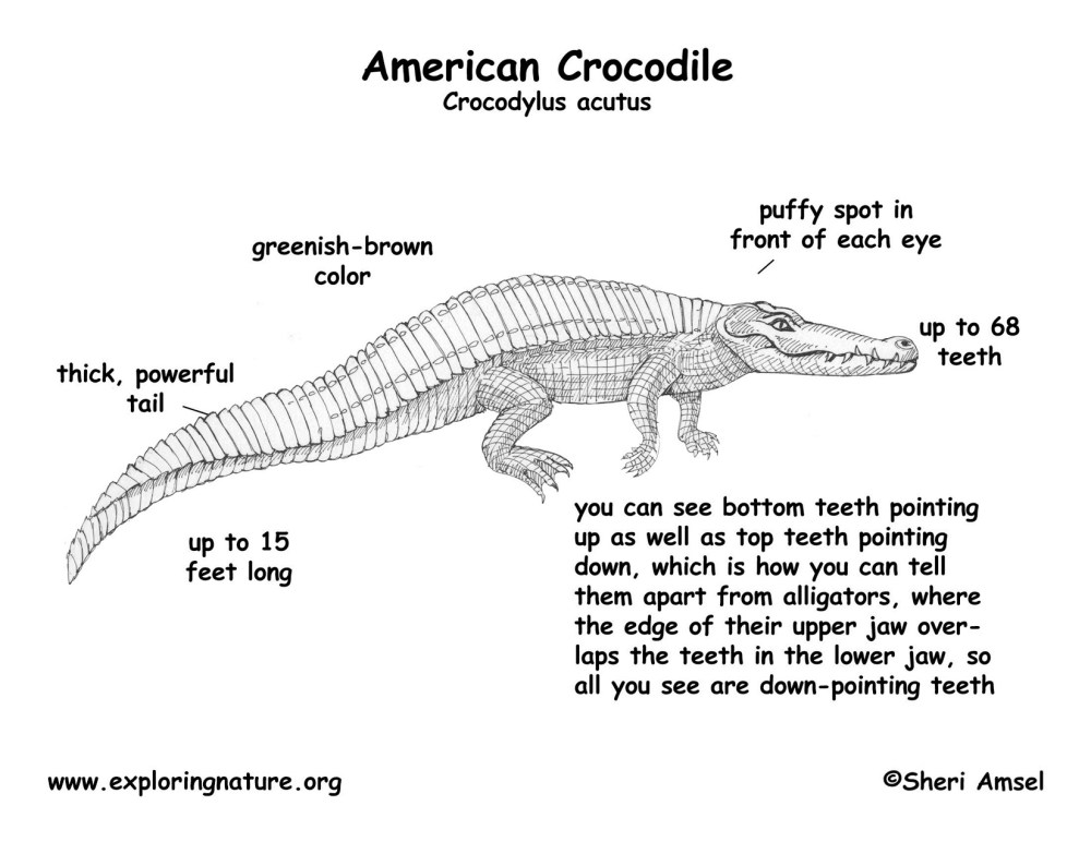 medium resolution of crocodile american alligator body parts diagram labeled