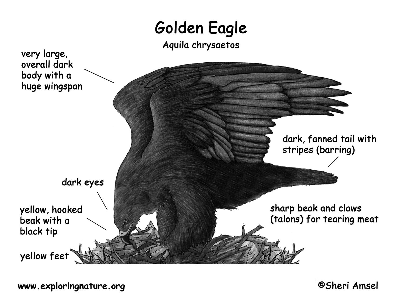 eagle anatomy diagram porsche 911 alternator wiring golden