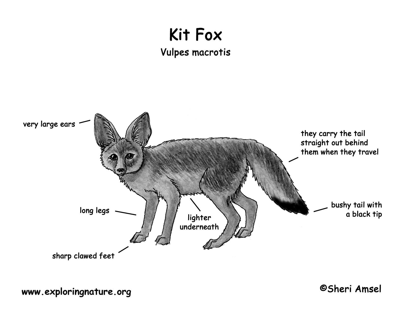 desert hawk diagram alternator wiring fox kit