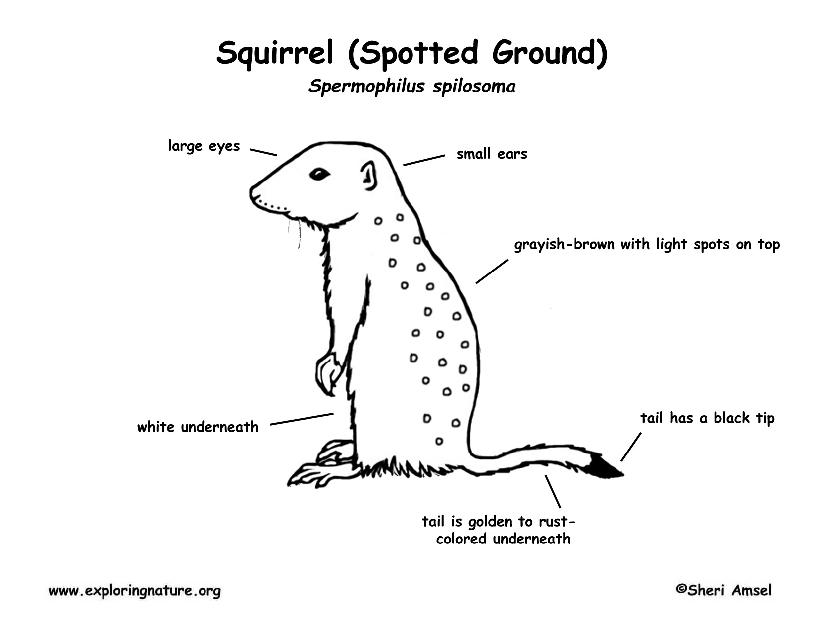 Ground Squirrel Spotted