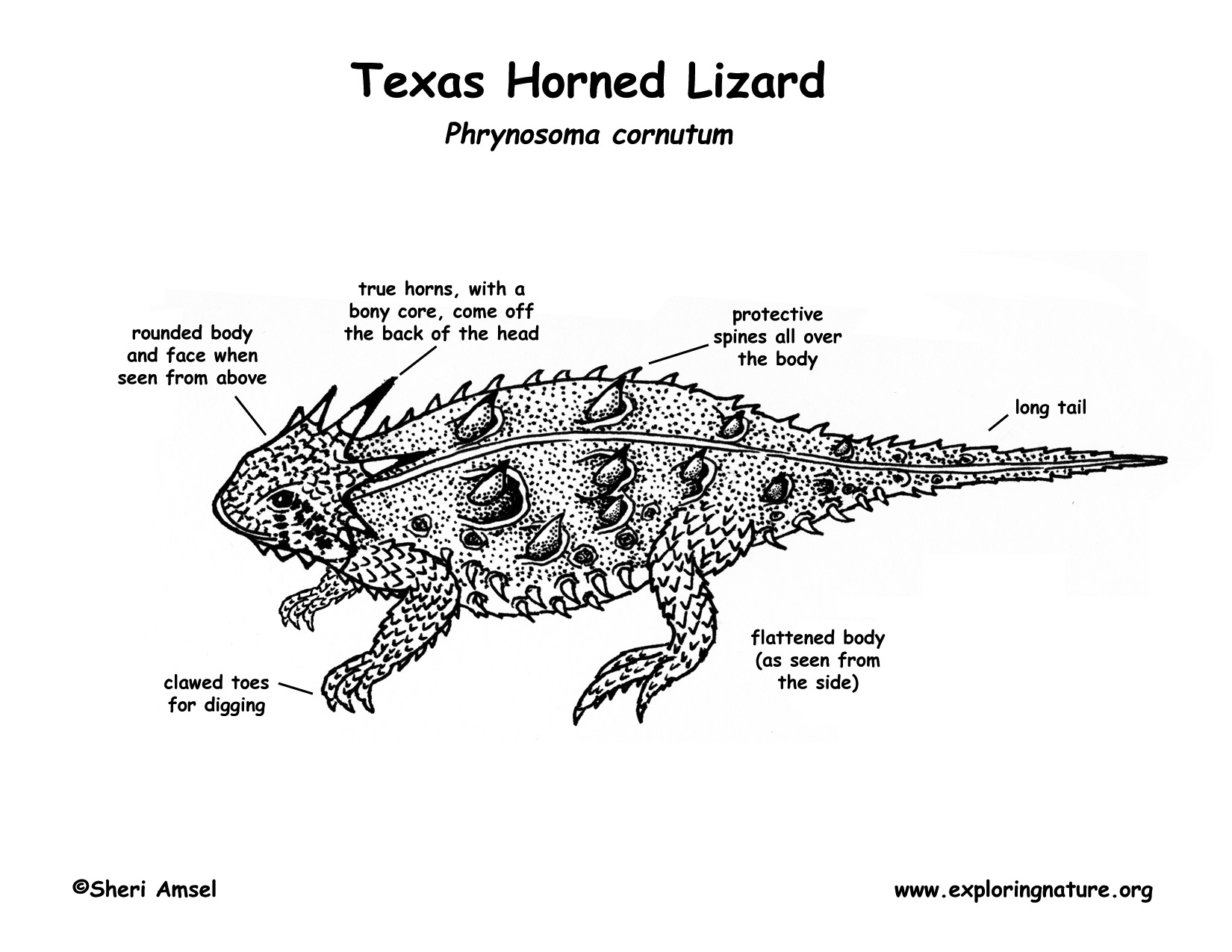 Horned Toad Coloring Coloring Pages