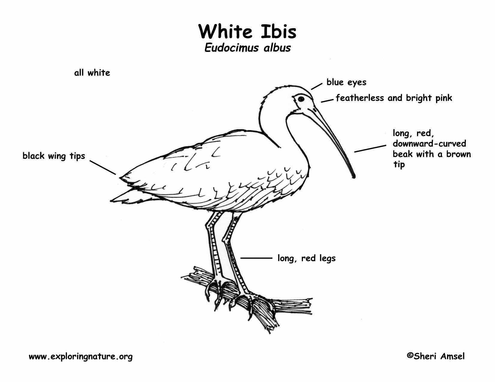 Ibis White