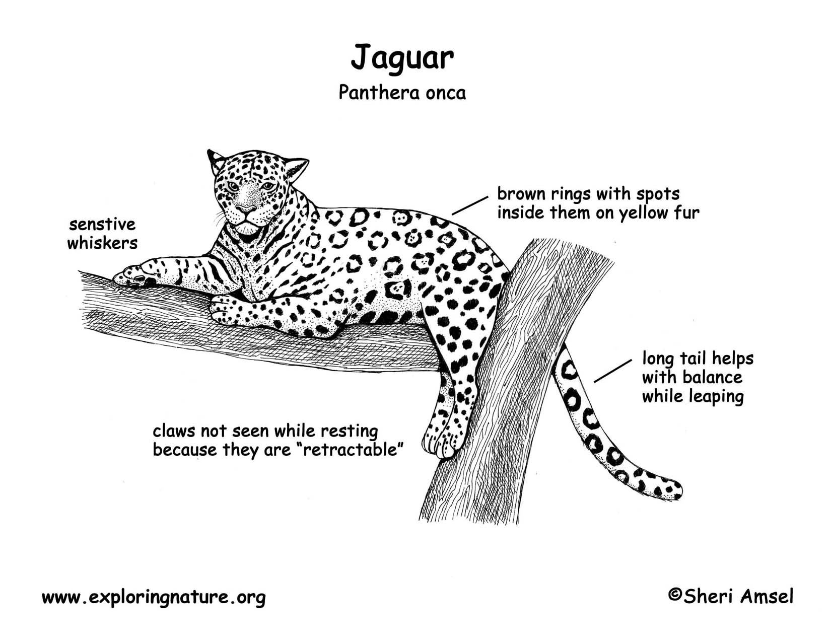 Leopard Diagram Gallery