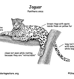 diagram of a jaguar animal wiring diagrams wni diagram of a jaguar animal [ 1650 x 1275 Pixel ]