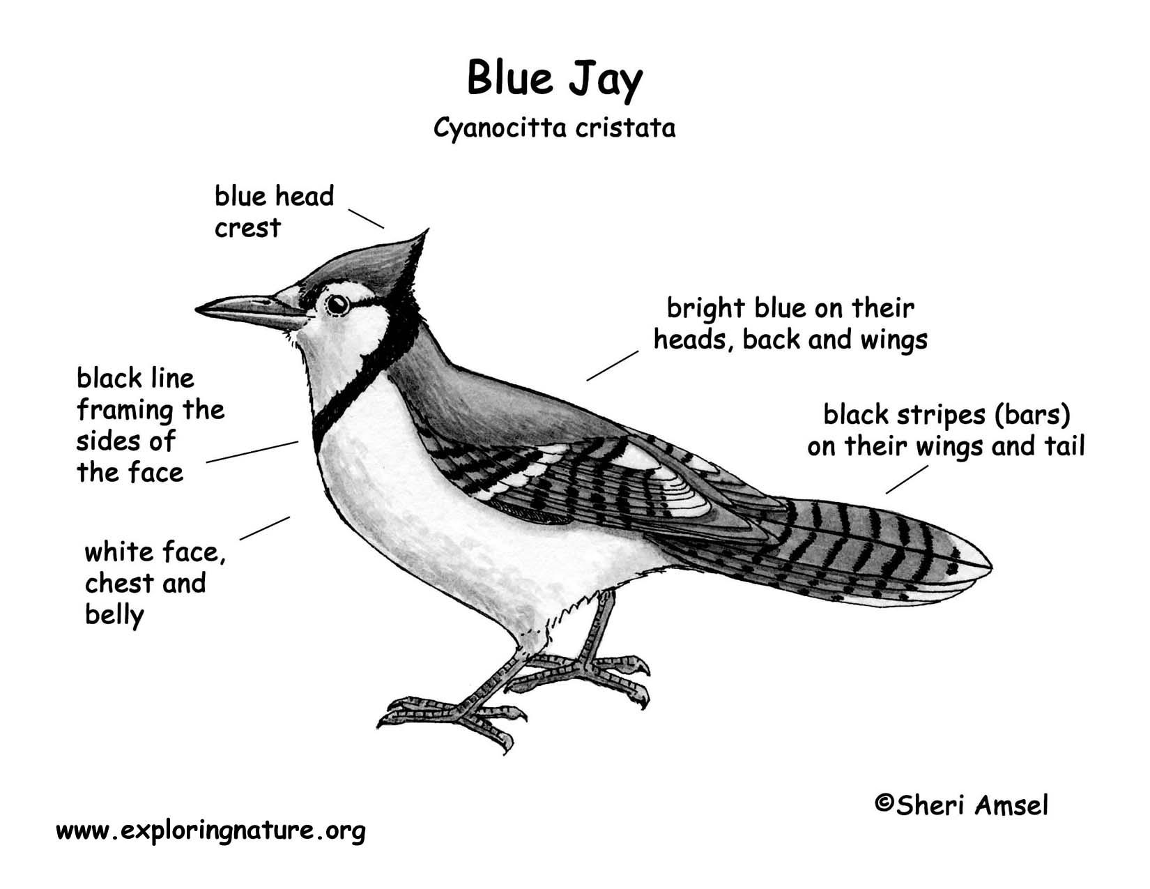 Jay (Blue)