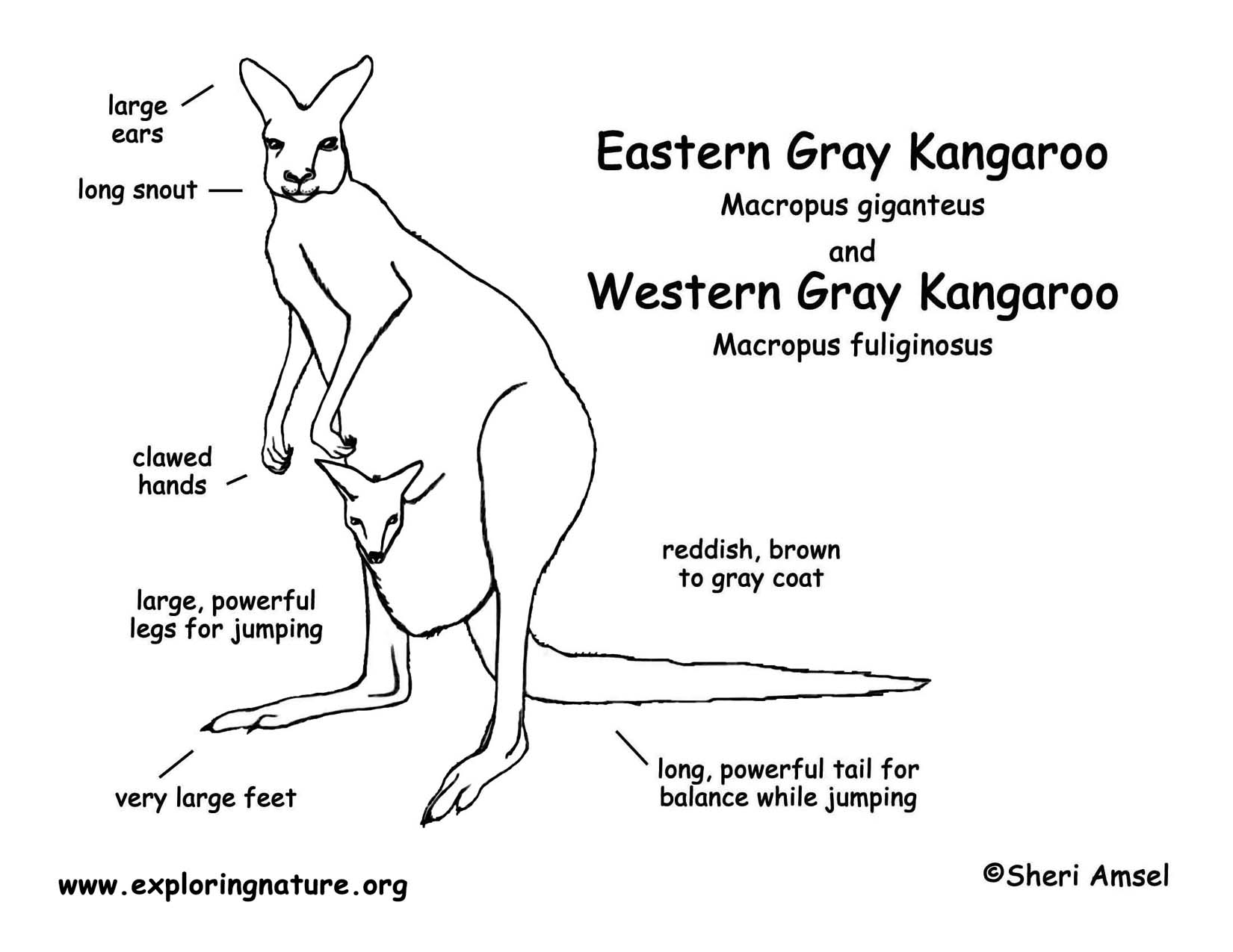 Related Keywords Amp Suggestions For Kangaroo Internal