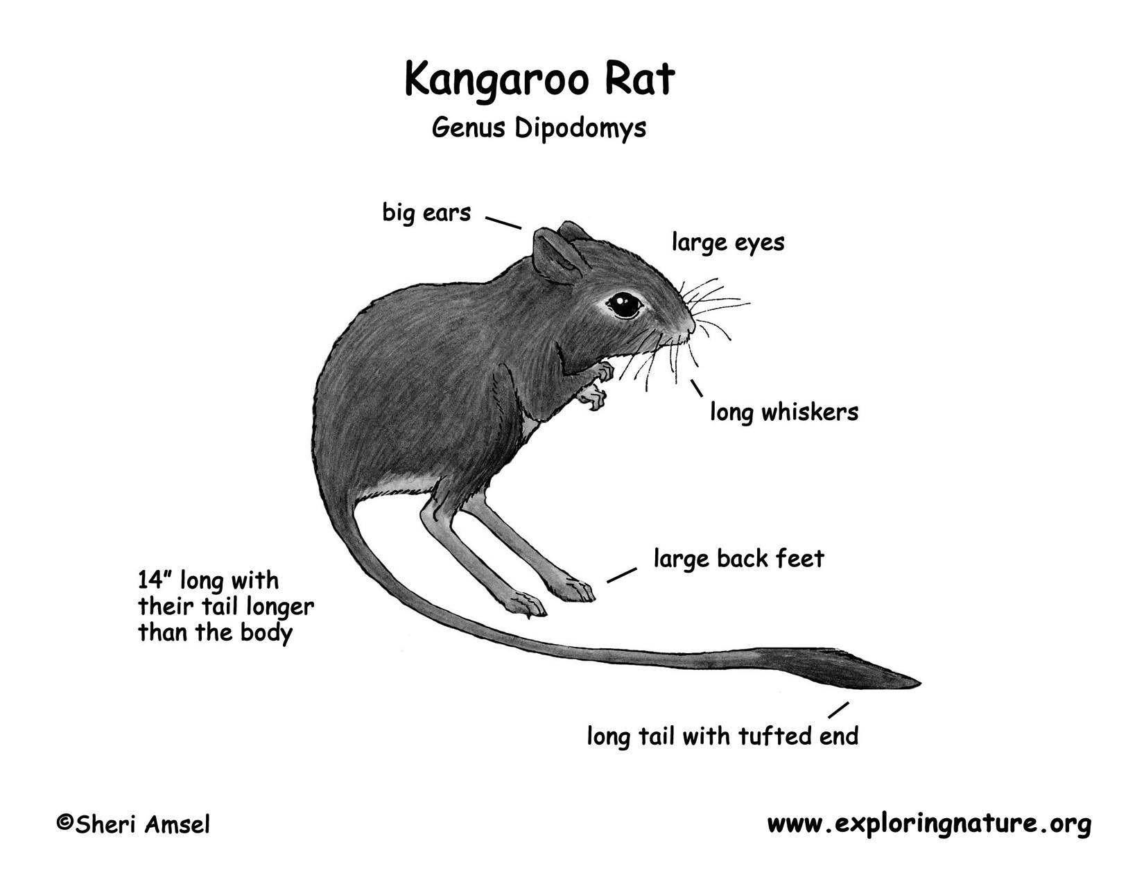 desert hawk diagram usb to parallel printer cable wiring kangaroo rat