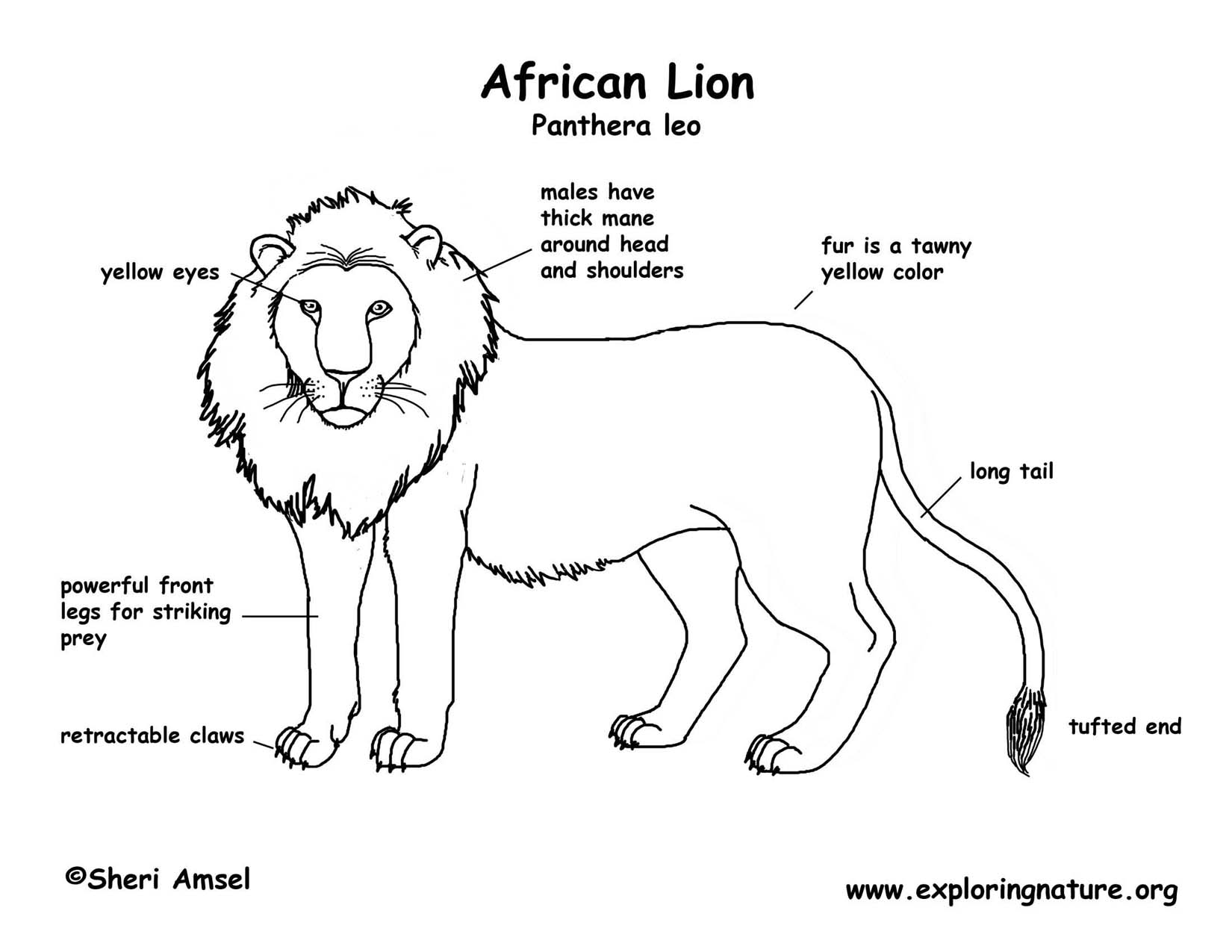 hight resolution of a lion diagram
