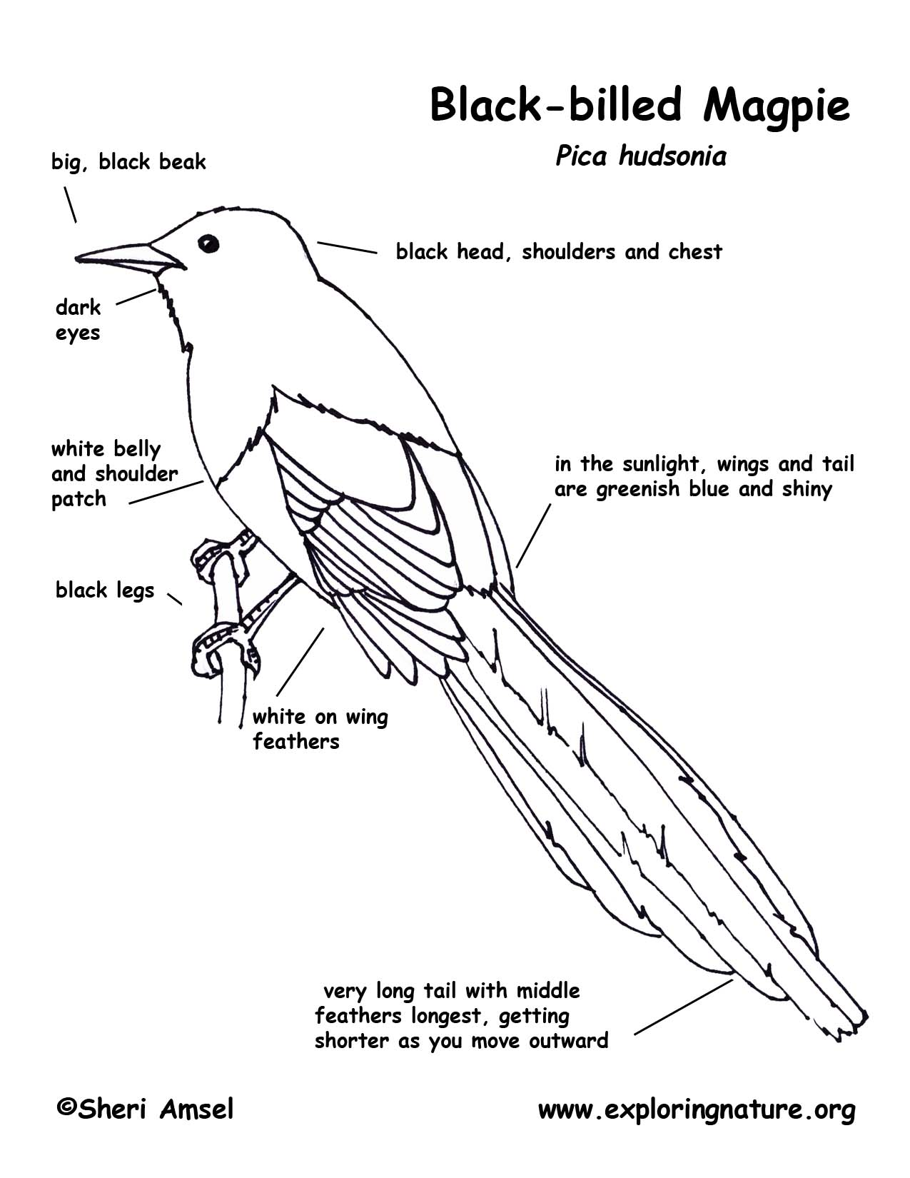 Magpie Animal Coloring Pages