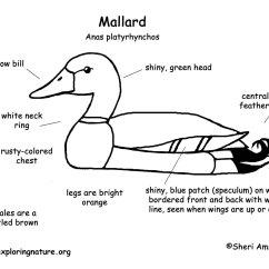 Clipping Duck Wings Diagram 1990 Mercedes 500sl Wiring Mallard