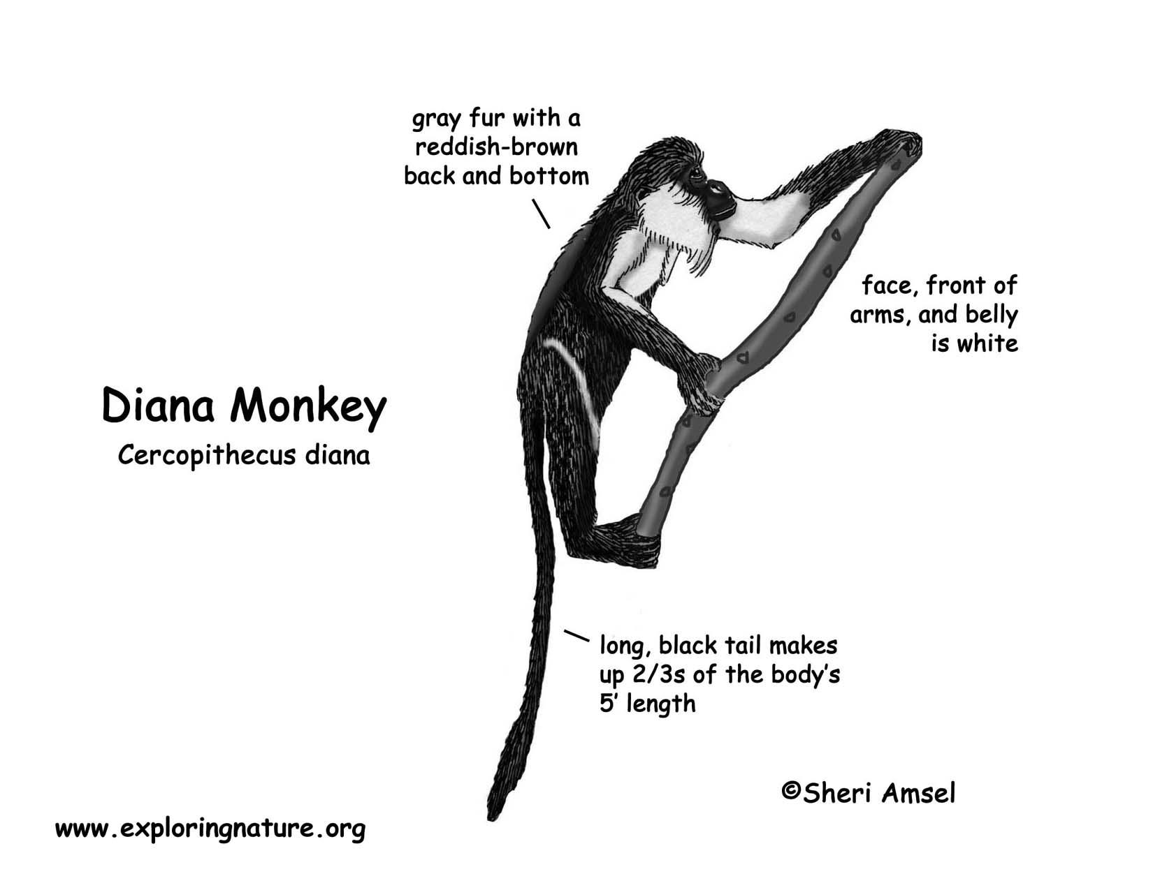 Monkey Diana