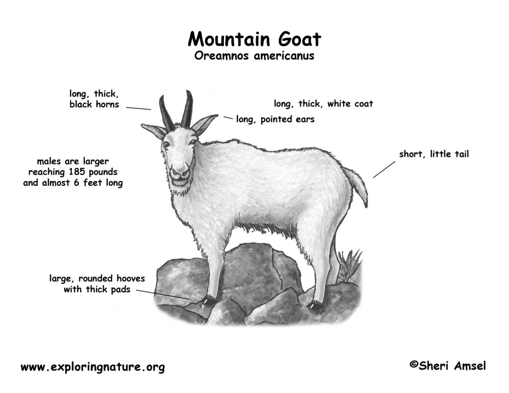 medium resolution of goat diagram