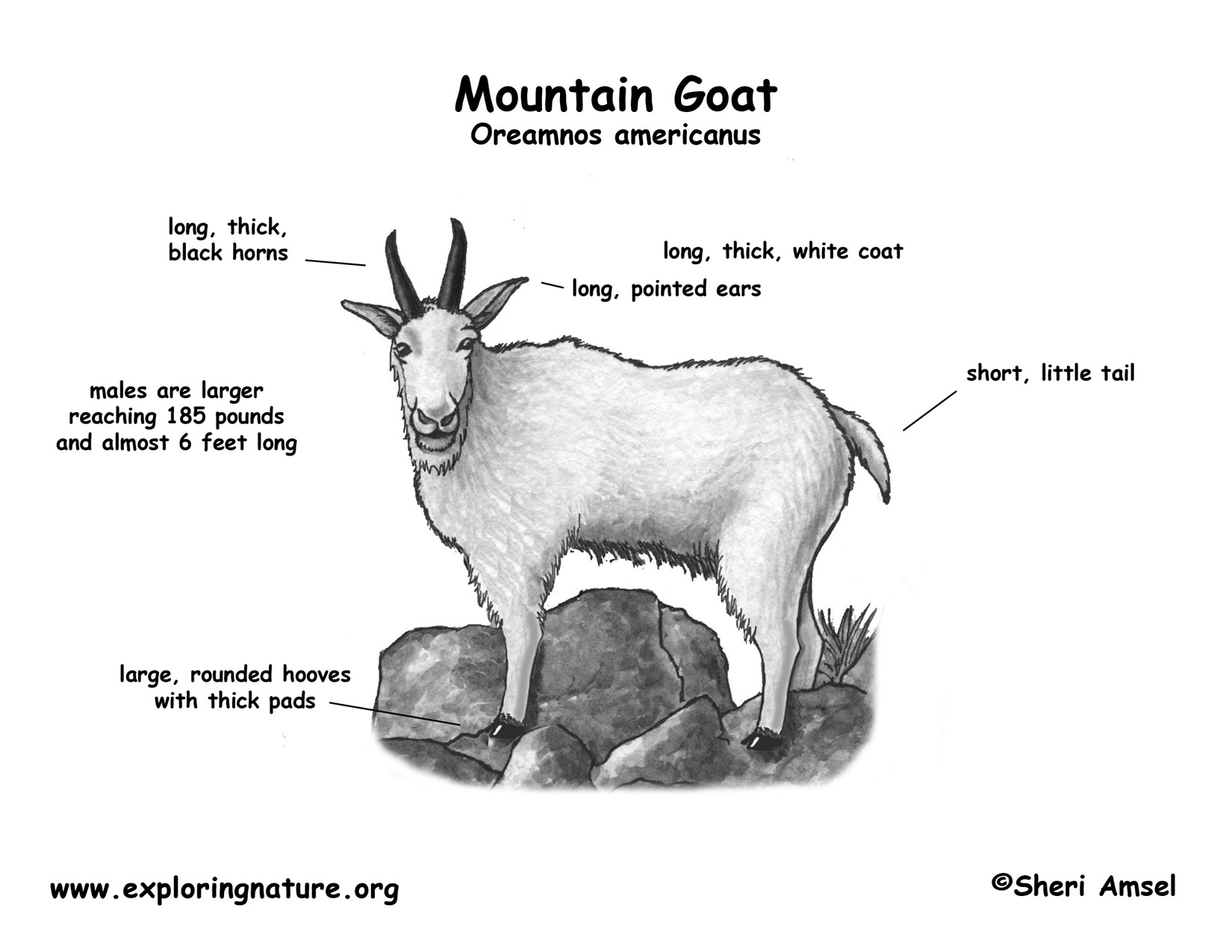 hight resolution of goat diagram