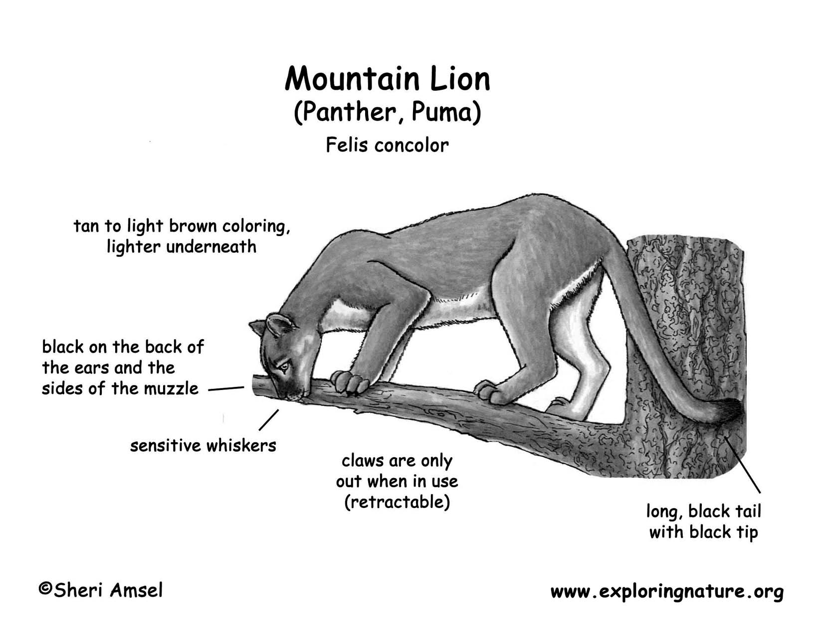 cat paw diagram 1998 toyota land cruiser stereo wiring mountain lion panther puma cougar catamount