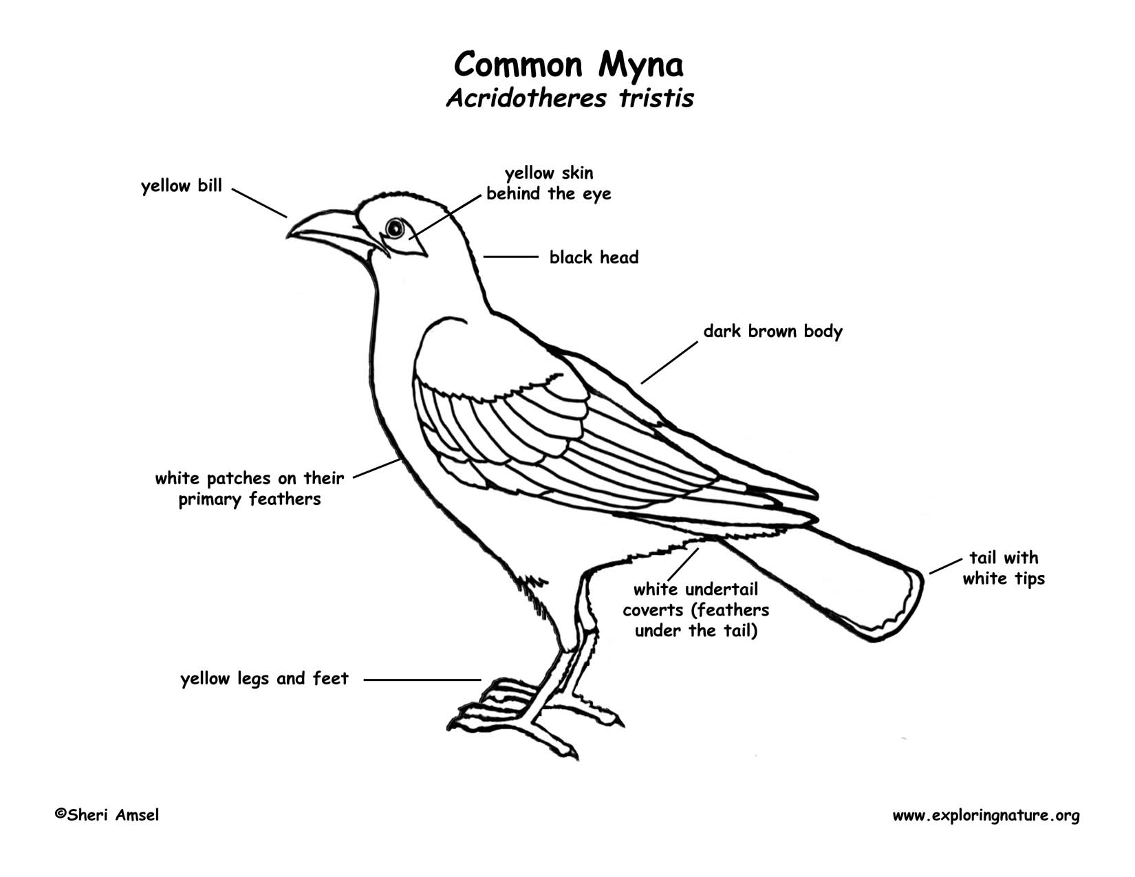 The Common Myna