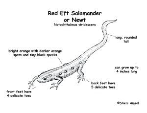 Salamander (Red Eft or Newt)