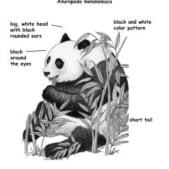 Panda Bear Diagram Light Wiring Diagrams Giant Download Hi Res B W