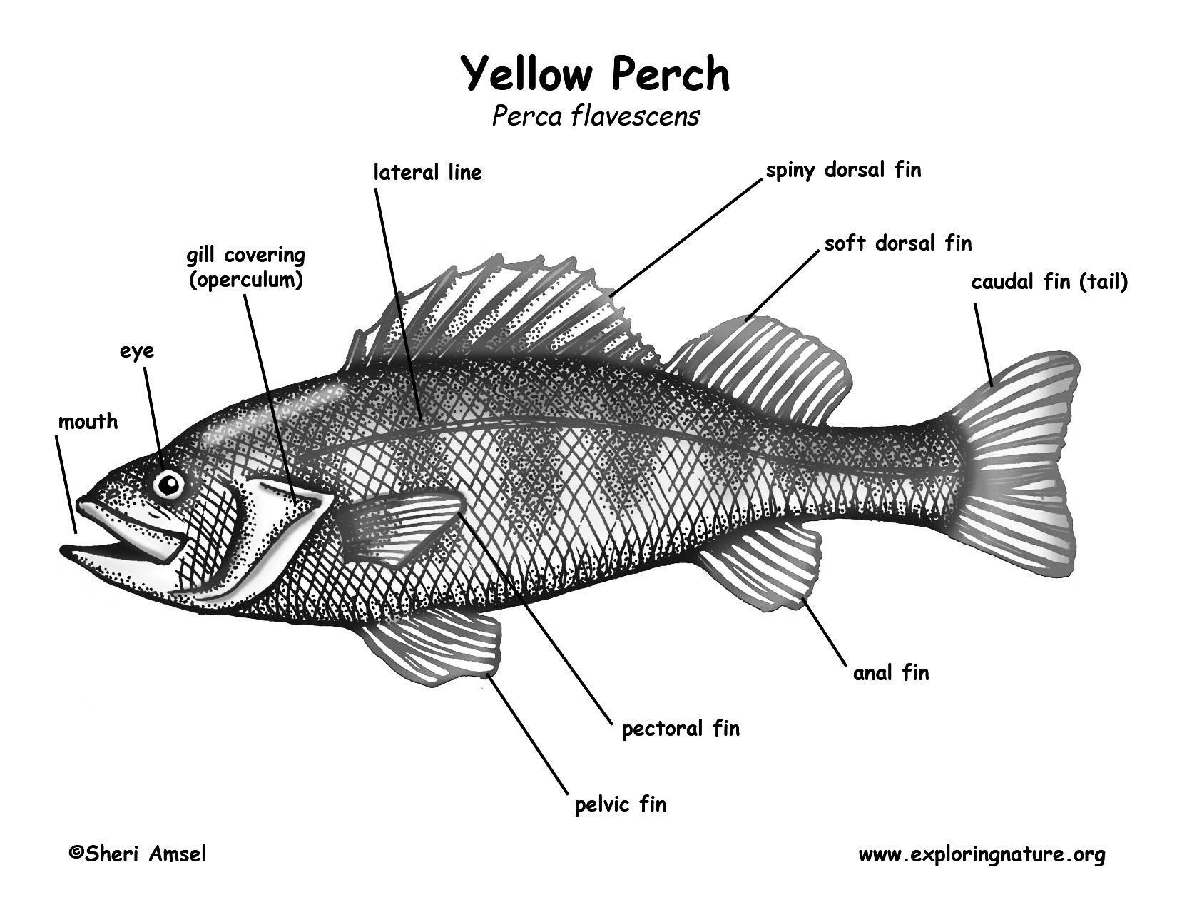 Worksheets Labeling Of Of A Fish Body Waytoohuman Free