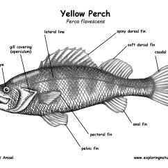 Perch Internal Anatomy Diagram Single Line Telephone Wiring Yellow