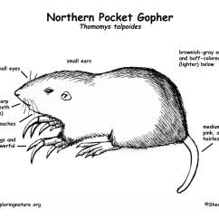 Coyote Teeth Diagram 4 Pin An Scheibenwischermotor Pocket Gopher Northern