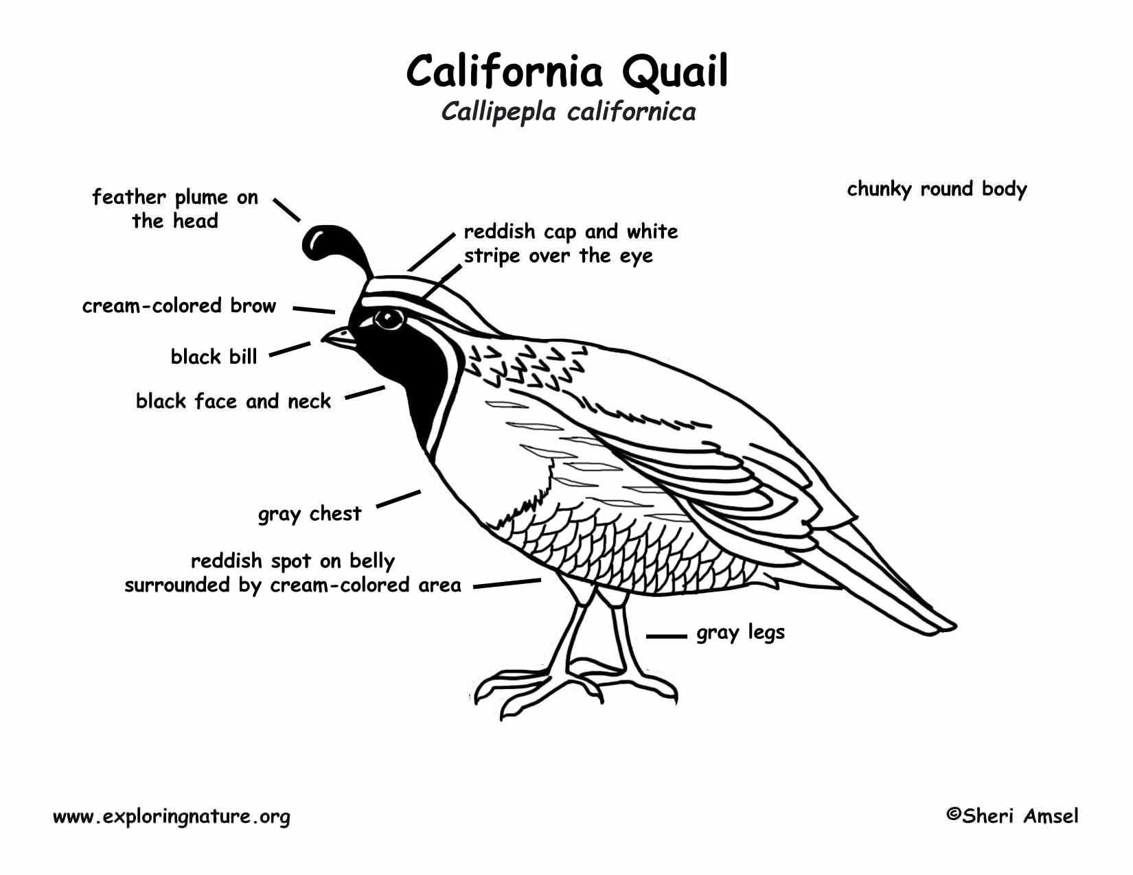 Quail (California)