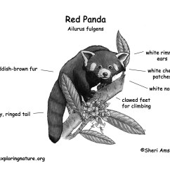 Snow Leopard Anatomy Diagram 2005 Chevy Impala Radio Wiring Panda Lesser Or Red