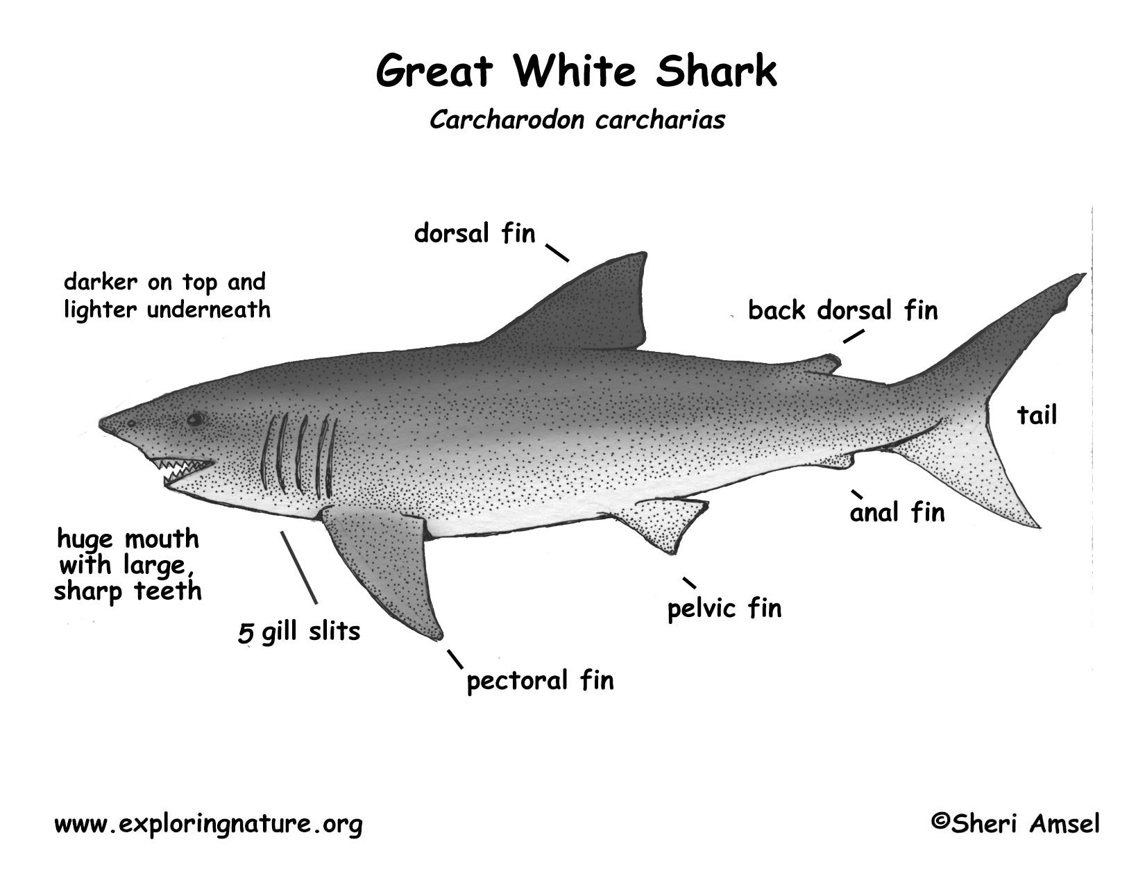 Shark Great White