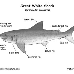 Great White Shark Anatomy Diagram Speaker Cable Wiring
