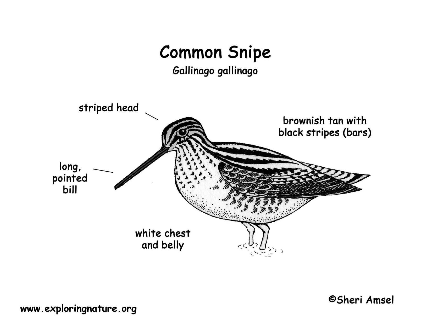 Snipe (Common)