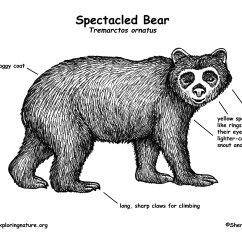 Black Bear Diagram Woody Dicot Stem Cross Section Spectacled