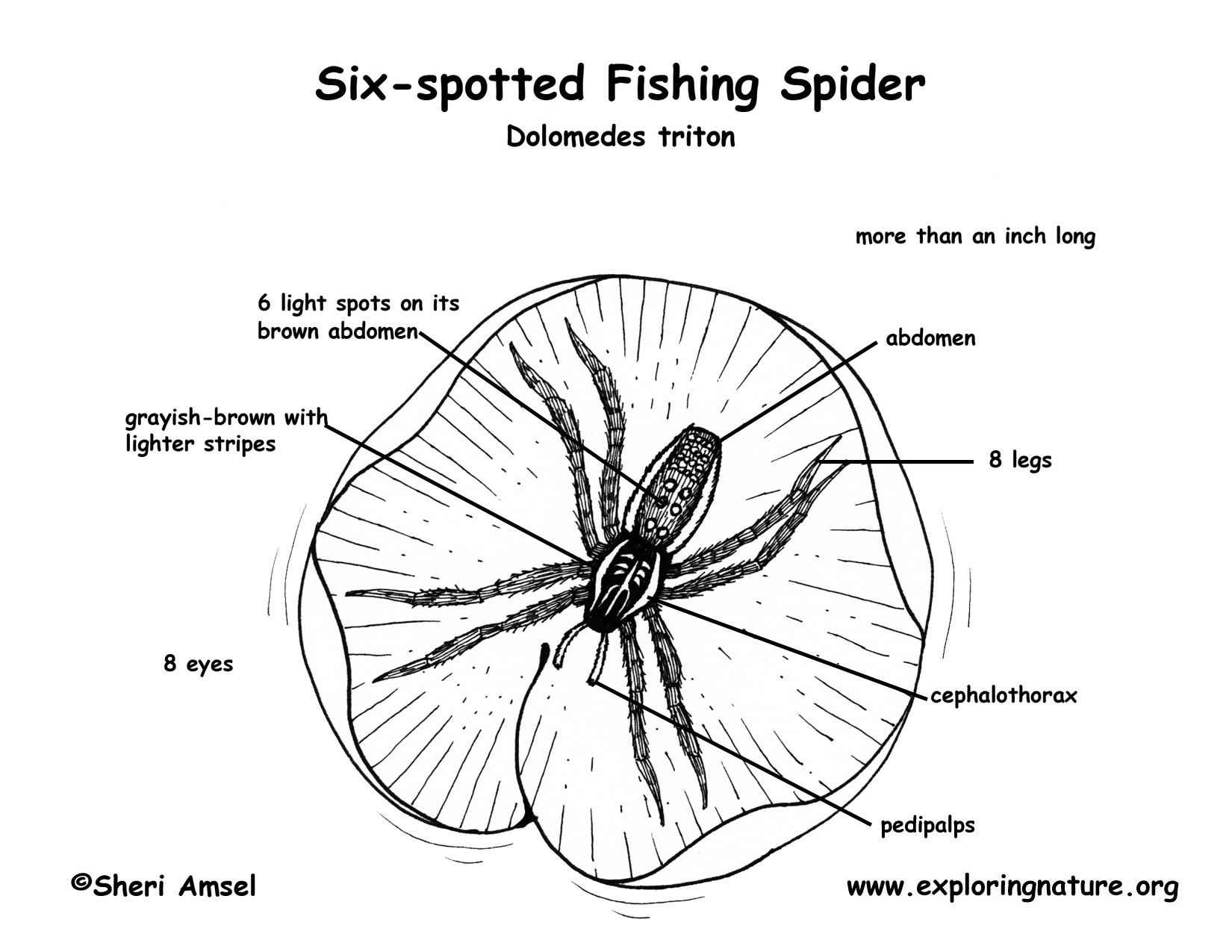Spider Six Spotted Fishing