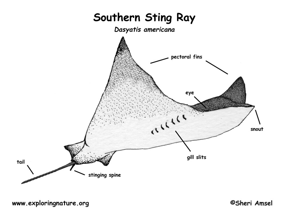 medium resolution of ray fish diagram label wiring diagram database ray fish diagram label