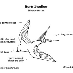 Avian Anatomy Diagram Labeled 1970 Vw Beetle Headlight Switch Wiring Swallow Barn