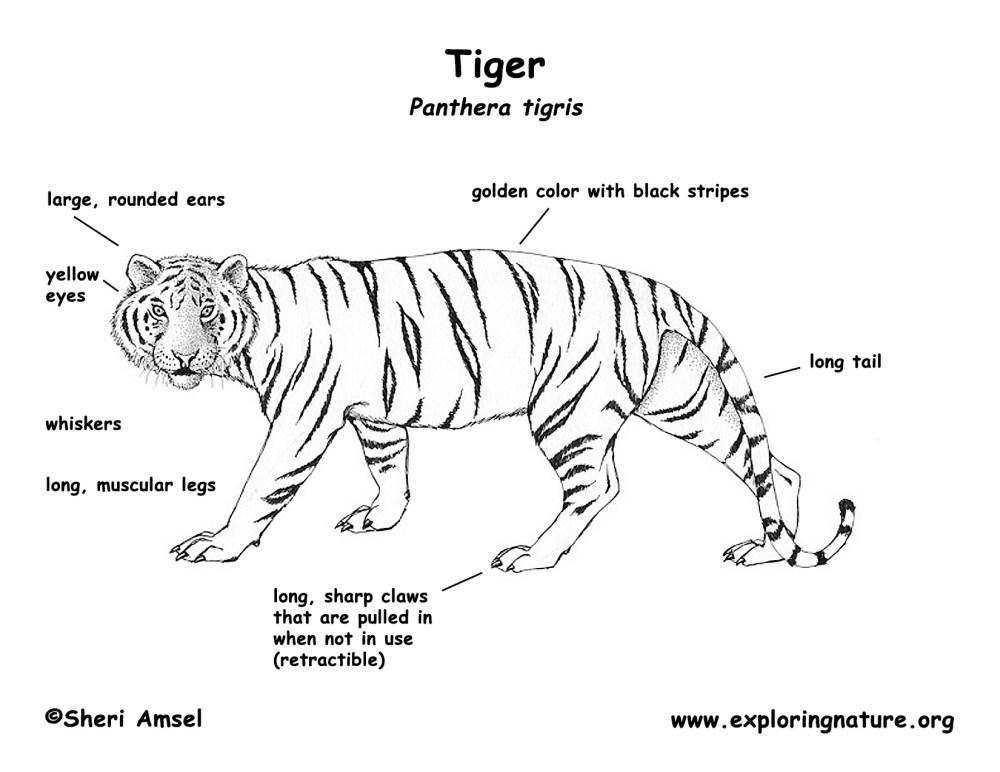 medium resolution of tiger tiger diagram labled
