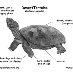 Turtle Anatomy Diagram 3 Gang Light Switch Wiring Multiple Lights Tortoise Desert