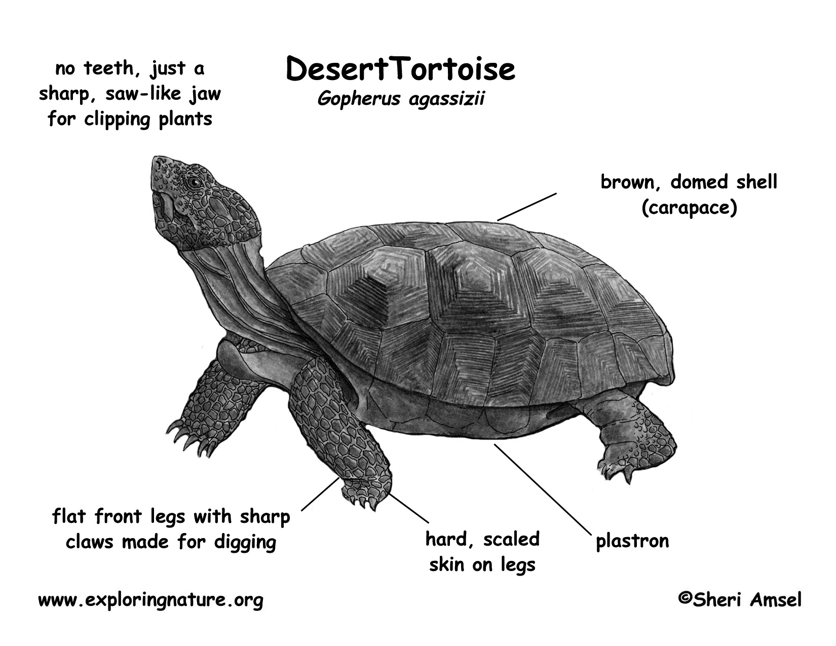 turtle anatomy diagram carrier infinity wiring tortoise desert