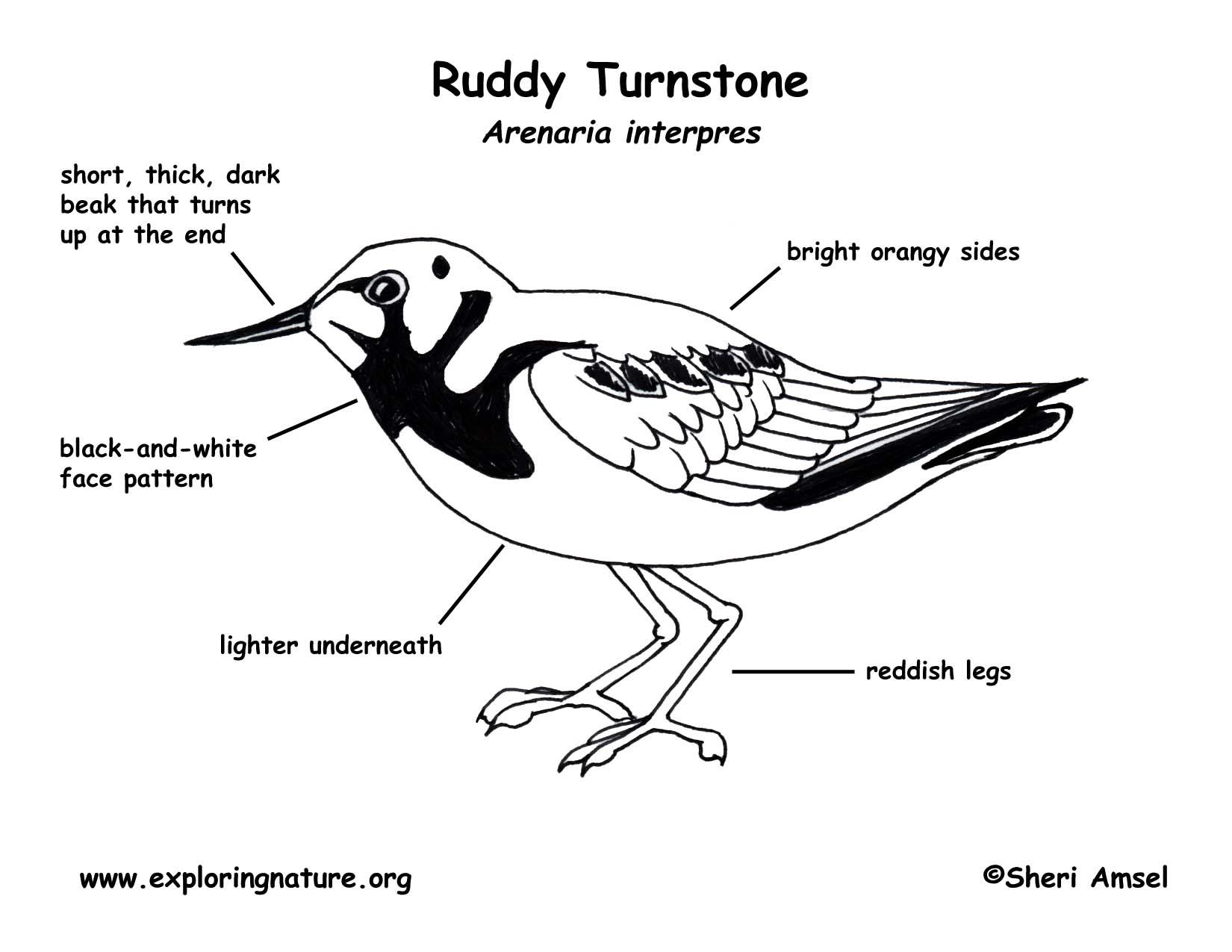 Turnstone Ruddy