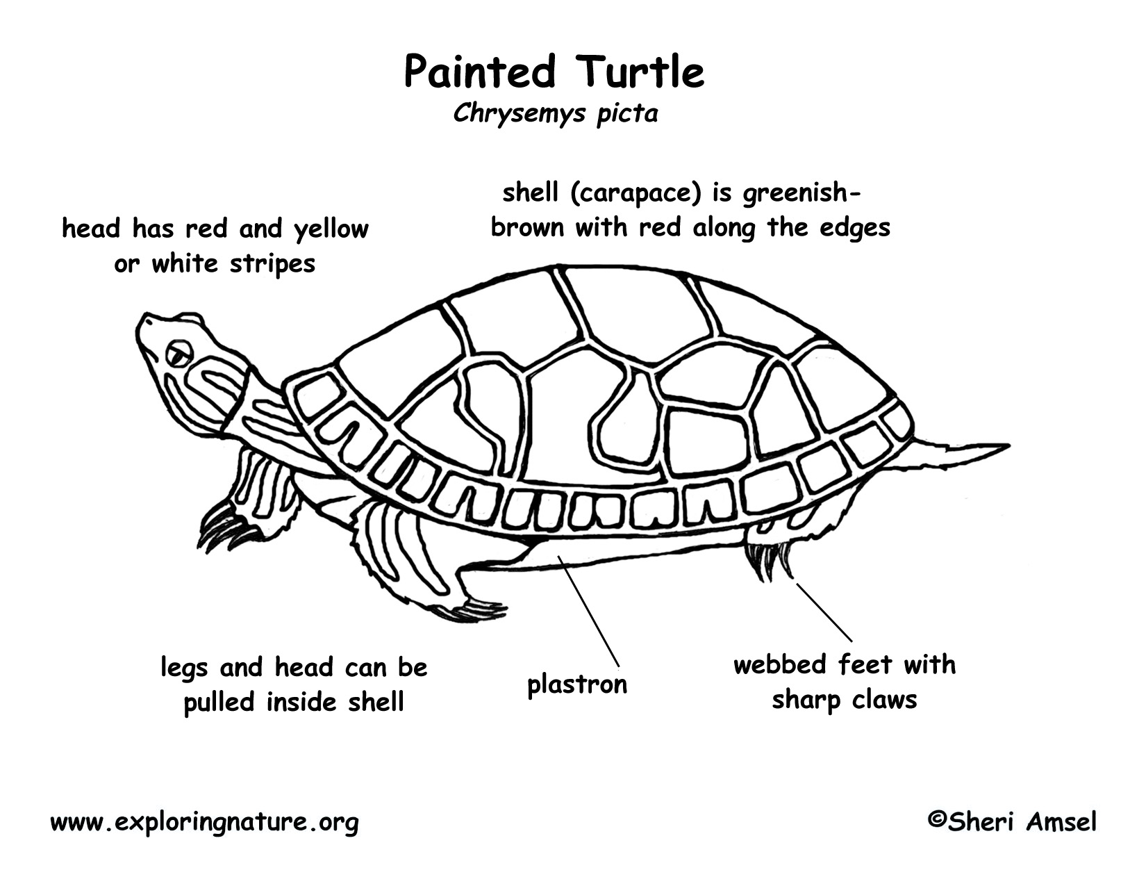 hight resolution of label turtle diagram wiring diagram advance label turtle diagram
