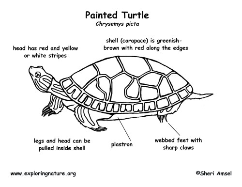 small resolution of label turtle diagram wiring diagram advance label turtle diagram