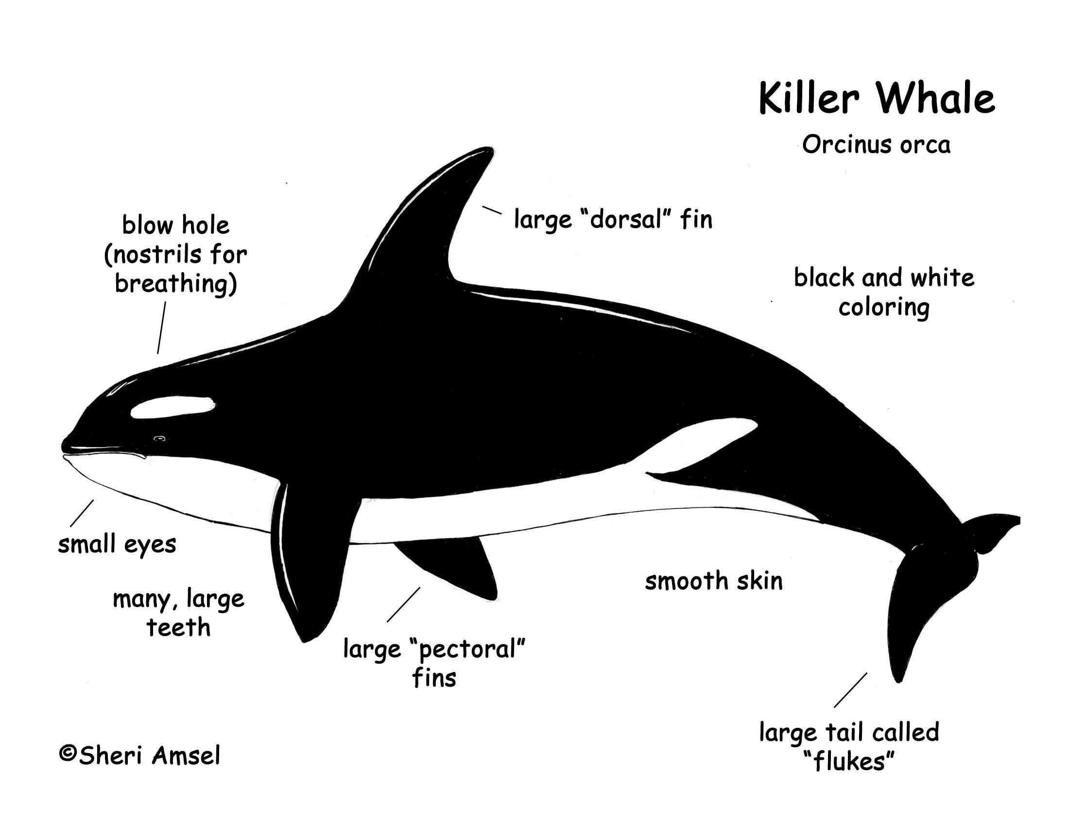 blue whale life cycle diagram rv solar orca skeleton