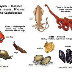 Labeled Diagram Of Octopus 2000 Bmw 323i Stereo Wiring Phylum Mollusca Gastropods Bivalves Cephalopods Labeling Page Download Hi Res B W