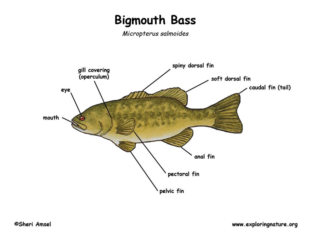 medium resolution of bass largemouth download hi res color diagram