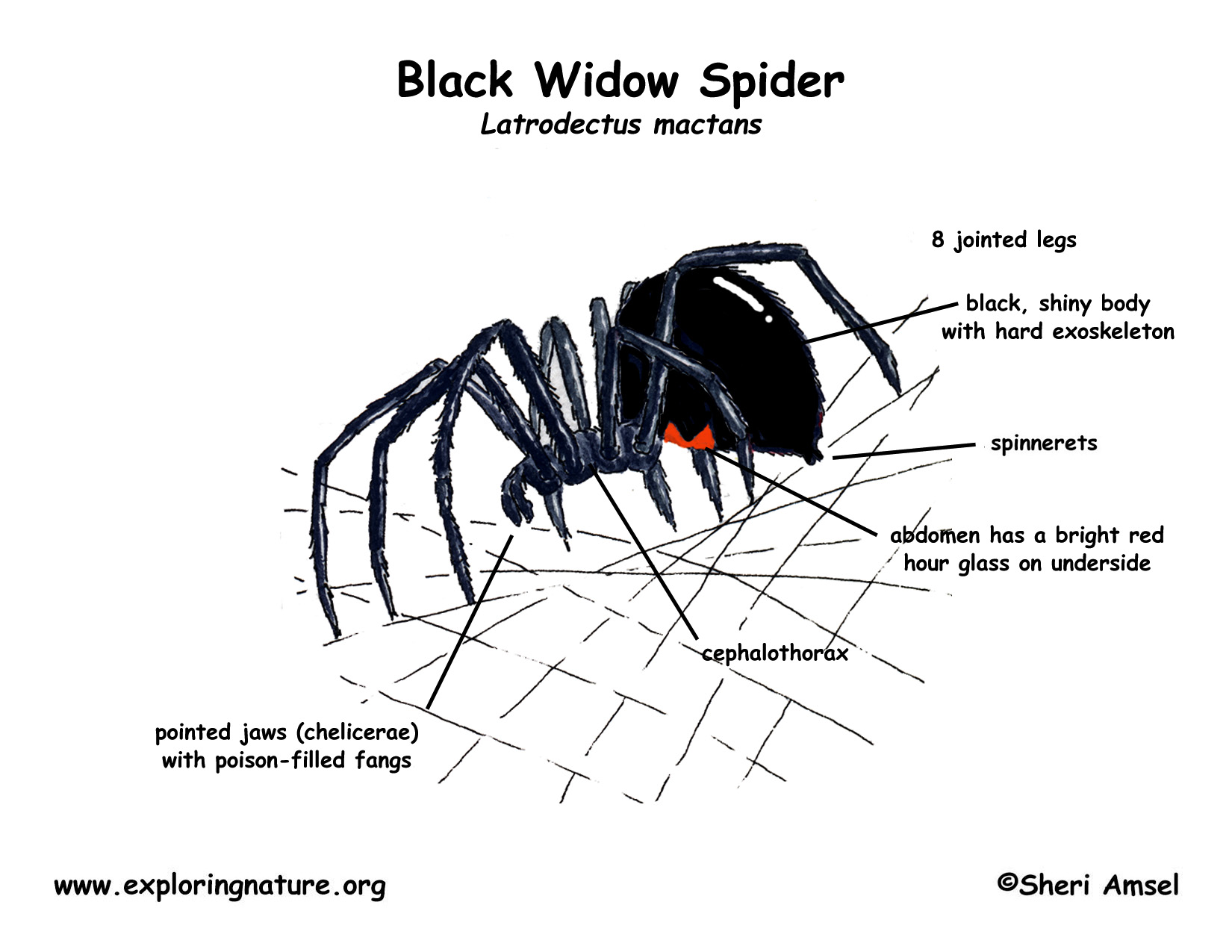 Black Widow Spider Life Cycle Diagram Pictures To Pin On