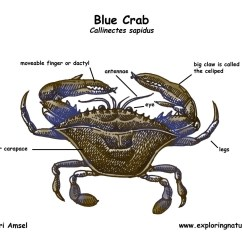Crab Anatomy Diagram Magnetic Door Lock Circuit Blue